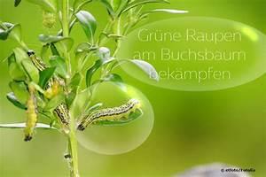 Buxbaum Raupen Bekämpfen : gr ne raupen im buchsbaum bek mpfen 8 wirksame hausmittel ~ A.2002-acura-tl-radio.info Haus und Dekorationen