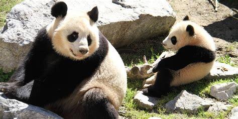 Zoologischer Garten Berlin Panda by Leihgabe Aus China Berliner Zoo Bekommt Zwei Gro 223 E Pandas