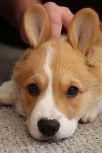 Benjamin Bunny, Corgi-Style - cute Pembroke Welsh Corgi ...