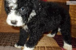 portuguese water dog puppies adopt a portuguese water dog