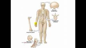Bone Anatomy And Physiology