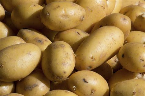 pomme de terre nouvelle culture vari 233 t 233 s go 251 t ooreka
