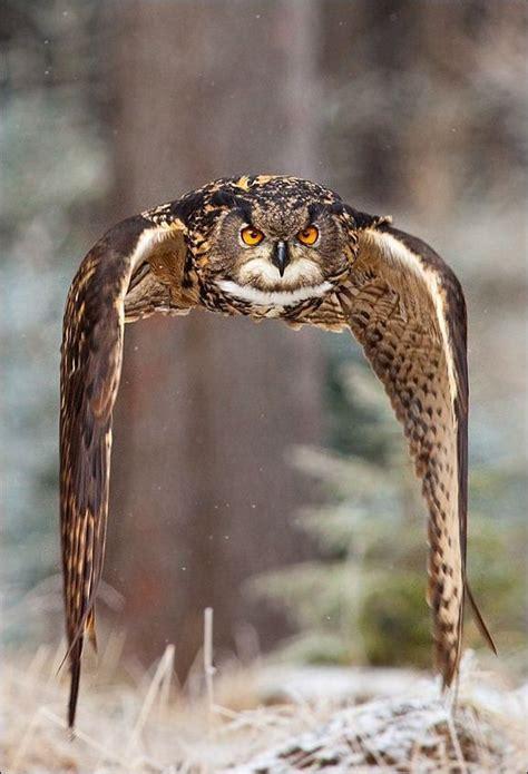 Eagle Owl In Flight  Great Photo!  Birds Pinterest