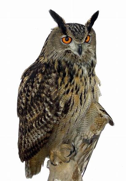 Owl Transparent Eagle Clipart Flying Horned Hiboux