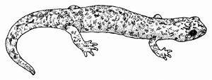 Mount Lyell Salamander