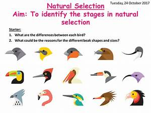 AQA A level Biology Natural selection by ...