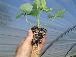 Plant De Fraisier : plants de fraisiers plants mottes ~ Premium-room.com Idées de Décoration