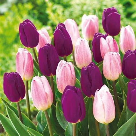 dynamic tulip duo tulips tulip bulbs  sale tulips