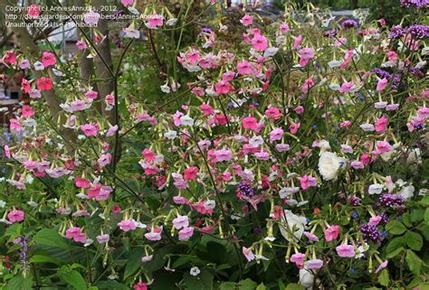 flowering tobacco plantfiles pictures flowering tobacco nicotiana mutabilis by anniesannuals