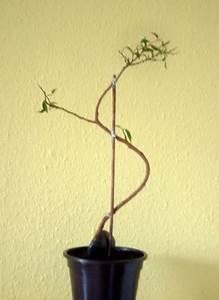 Ficus Bonsai Schneiden : ficus natasja bonsai experiment pflegen schneiden veredeln green24 hilfe pflege bilder ~ Indierocktalk.com Haus und Dekorationen