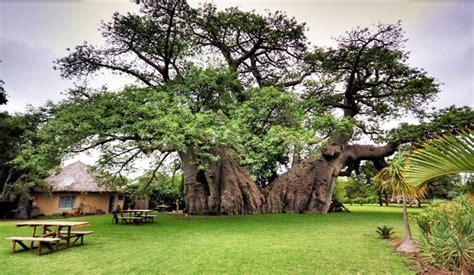 l arbre baobab biologiquement