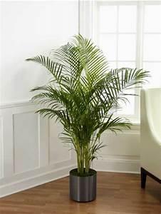Dekorative Pflanzen Fürs Wohnzimmer : palmenarten zimmerpflanzen wirken sehr sch n ~ Eleganceandgraceweddings.com Haus und Dekorationen