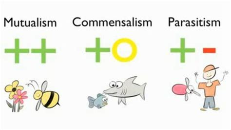 Mutualism and Commensalism Commensalism relationship