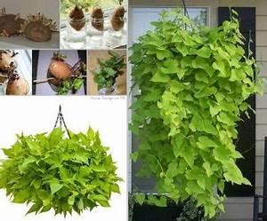 Culture De La Patate Douce : comment faire germer patate douce ~ Carolinahurricanesstore.com Idées de Décoration