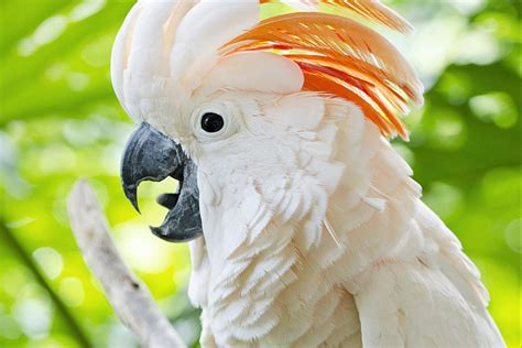 moluccan cockatoo here s what to know about moluccan cockatoos