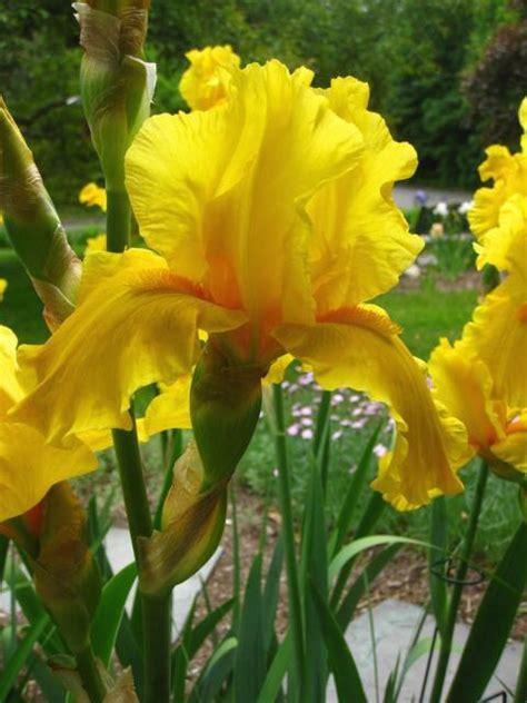 garden iris flowersjpg  res p hd