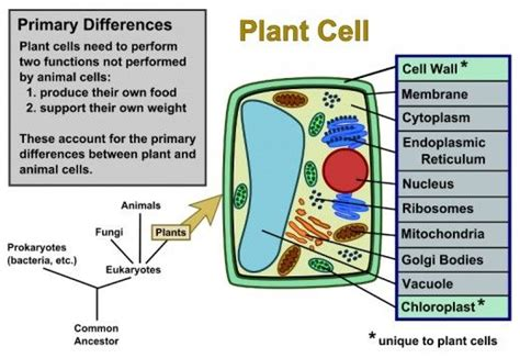 Plant Cells Vs Animal Cells (with Diagrams)  Teaching  Plant Cell, Animal Cell, Plant Cell