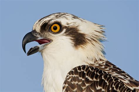 Images Of Osprey New York City Weekend Nature Photography Seminar December