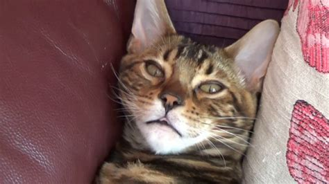 Benji The Bengal Cat From Kitten To Adulthood Youtube