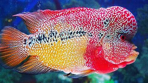 10 ikan hias air tawar termahal segala info dot