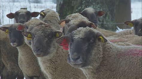 Ģimene Dagdas novadā audzē šķirnes aitas - YouTube