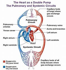 Do Arteries Carry Oxygenated Blood Or Deoxygenated Blood