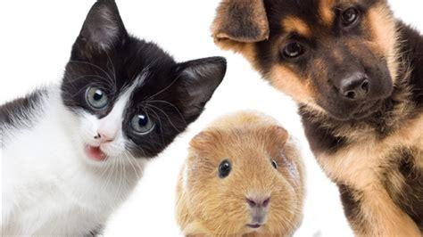 pat les animaux de compagnie les animaux qu 233 b 233 cois maintenant arm 233 s d une loi contre la cruaut 233 humaine
