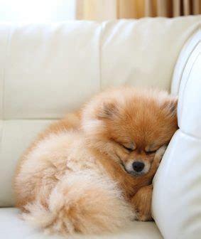 empecher un chien de monter sur le canapé comment empêcher chien de monter sur le canapé