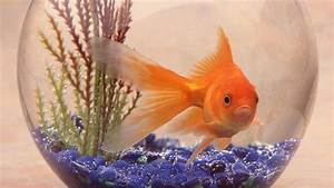 What Is The Habitat Of A Goldfish