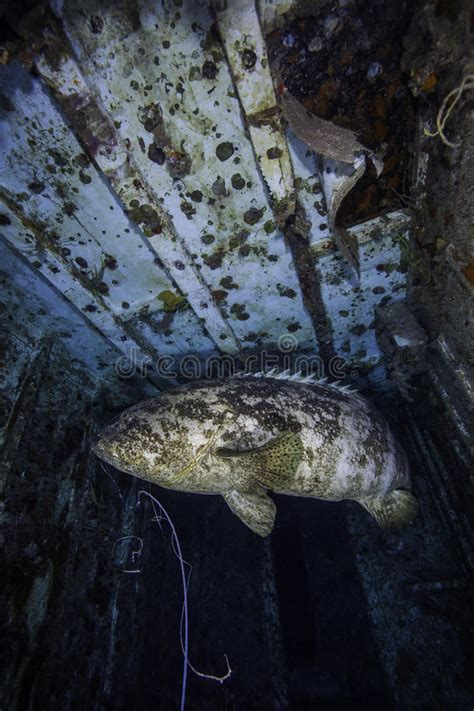 goliath grouper largo spiegel grove key