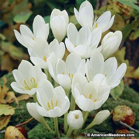 white autumn crocus bulbs crocus kotschyanus autumn