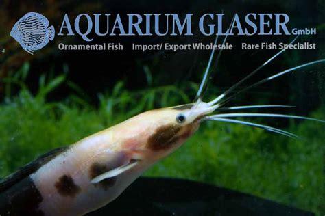 clarias batrachus marbled aquarium glaser gmbh