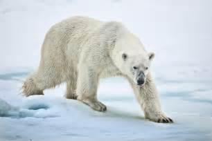 Greenland Arctic Animals