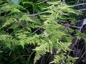 Least Favorite Plant Asparagus Fern Asparagus Setaceus