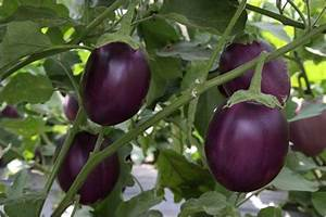 Complete information about Brinjal plant - eAgriculture