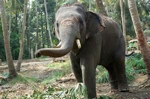 Sumatran Elephant   Animal Wildlife