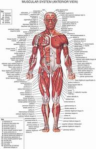 Muscular System  Anterior View