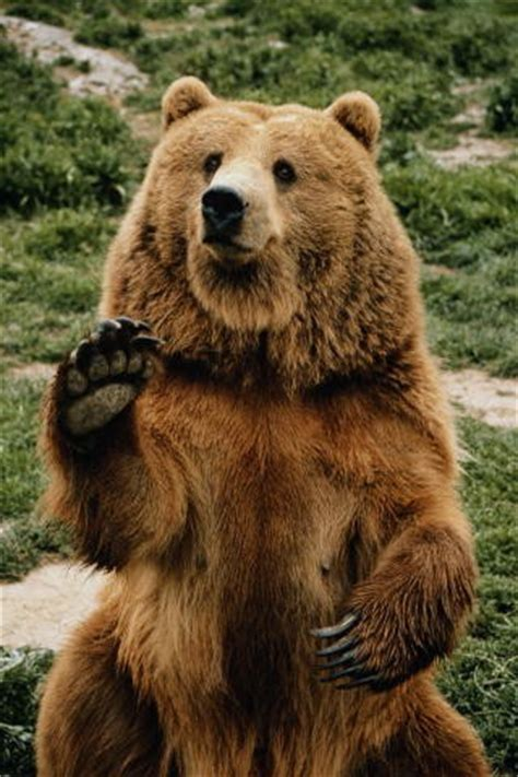 Медведь – описание виды чем питается где обитает фото