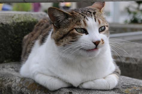 tabby cat pictures file tabby cat teeth jpg wikimedia commons