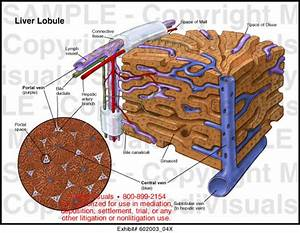 Liver Lobule Medical Illustration