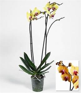 Große Zimmerpflanzen Kaufen : phalaenopsis orchidee 2 triebe gelb 1 pflanze g nstig online kaufen mein sch ner garten shop ~ Frokenaadalensverden.com Haus und Dekorationen