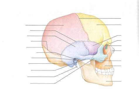 anatomy of the skull labeling archives human anatomy chart