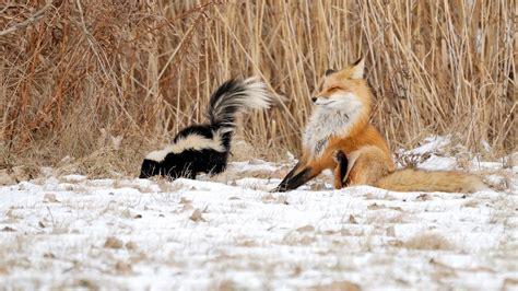 Winter Wallpaper With Animals - 1920x1080 animals animals winter nature skunk