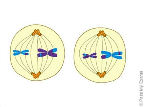 Metaphase 2 Diagram by Lab 4 Mitosis Meiosis At Of Winnipeg