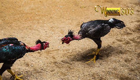 Penggemar judi sabung ayam atau adu ayam online tentunya sudah mengenal situs judi s128 yang menghadirkan seperti di negara filipina, kamboja, vietnam, myanmar dan juga di indonesia. Mengenal Lebih Dalam Sabung Ayam Saigon Asli Vietnam