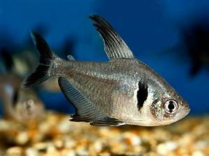 Black phantom tetra | Fish | Pinterest