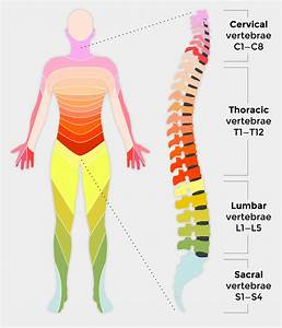 Spinal Cord Diagram Labeled  U2014 Untpikapps