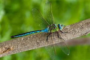 Tips For Knowing Your Dragonflies From Your Damselflies