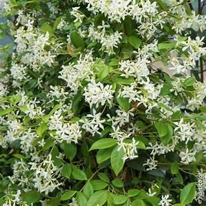 Plantes Grimpantes Pot Pour Terrasse : jasmin toil plantes grimpantes meilland richardier ~ Premium-room.com Idées de Décoration