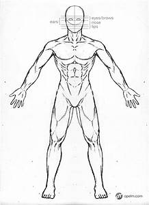 Male Anatomy Drawing Model